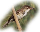 Warbler Reed