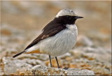 Wheatear Mourning