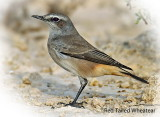 Wheatear Red Tailed