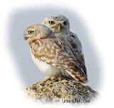 Owl Lilith Little 1.jpg