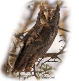 Owl Scops 1.jpg