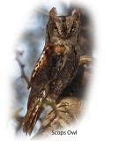 Owl Scops 2.jpg