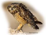 Owl Short Eared 1.jpg