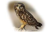 Owl Short Eared 2.jpg