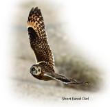 Owl Short Eared 3.jpg