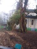 Paris oldest tree 1601