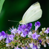 Live from the butterfly bush in my back yard...