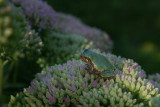 RAINETTE VERSICOLORE / Tree Frog