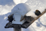 QUISCAL ROUILLEUX / RUSTY BLACKBIRD  / 11 fevrier 2014