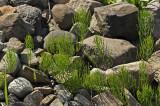 Prêle des champs / Equisetum arvense