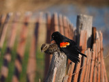 Red-winged Blackbird mating and copulation / Carouge a epaulettes en copulation