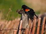 Carouge à épaulettes en copulation / Red-winged Blackbird mating and copulation