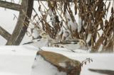 PLECTROPHANE (BRUANT) DES NEIGES * / SNOW BUNTING *