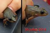 GRENOUILLES PHÉNOMÉNALES / Black eyed frog