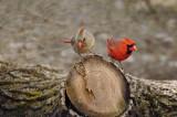 Northern Cardinal  / Cadinal rouge  ( F / M )