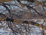 Tourterelle Turque / Eurasian Collared-Dove (Streptopelia decaocto)