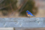 Merle bleu de l'est / EASTERN BLUEBIRD