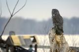 CHOUETTE LAPONE / GREAT GREY OWL / STRIX NEBULOSA