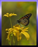 Monarch on Daisy.