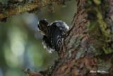 Three_Toed Woodpecker