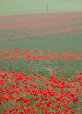 Poppies on the A46