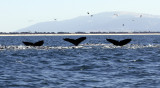 Synchronized whales 0451