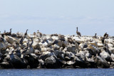 Cormorants and pelicans 0479