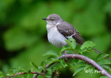 Oriole, Eastern Kingbird, Catbird, Mockkingbird