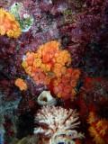 ORANJE KORAAL - Orange Coral - Koral oraño