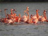 CARIBISCHE FLAMINGO - Caribbean Flamingo - Chogogo