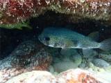 EGELVIS -Balloon Fish - Djindja