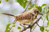 African Barbets & Tinkerbirds