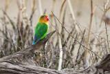 Old World Parrots