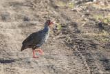 Red-necked Spurfowl (Pternistis afer)