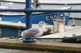 Herring Gull . Larus argentatus