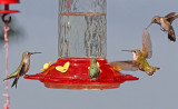 Hummingbirds - 2013 Collection