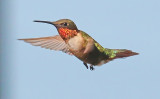 Hummingbirds - 2016