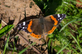 Red Admiral in February