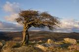 Wind sculpted tree on Dartmoor