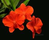 Cattleya Alliance Species