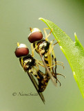 Mating Syrphids JL14 #7384