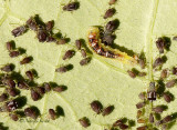 Syrphid larvae and aphids JL15 #8809