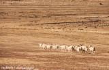 IMG_8326001.jpg - Basotho Goats
