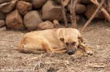 IMG_8494001.jpg -Ha Mali Dog