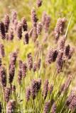IMG_0197001.jpg - Lavender