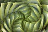 IMG_0484001.jpg - Spiral Aloe