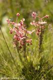 IMG_22531001.jpg - Flora of Lesotho