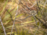 IMG_9070001.jpg - Spider of Lesotho