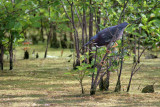 Little Green Heron