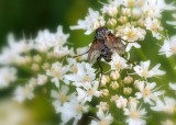ugly hairy fly